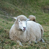 White sheep Stock Image