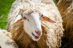White sheep. A white fluffy sheep staring Stock Image