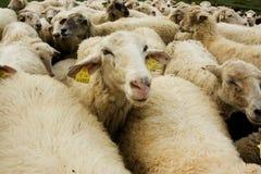 White sheep. Liptov, Slovak Republic Royalty Free Stock Photo