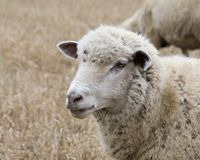 White Sheep Royalty Free Stock Images