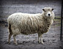White Sheep Royalty Free Stock Image