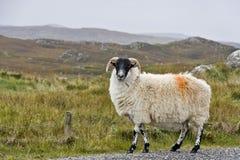 White sheep with black head Stock Photos