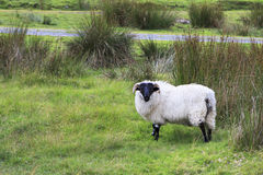 White sheep with black head. Stock Images