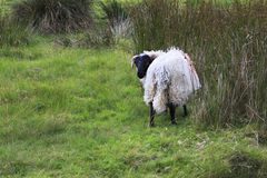White sheep with black head. Stock Photos