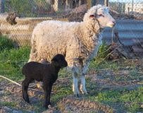 White sheep and black lamb in the courtyard of farm Stock Images
