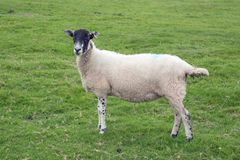 A white sheep with blue paint marks. A white sheep with blue painted marks in a field royalty free stock photos