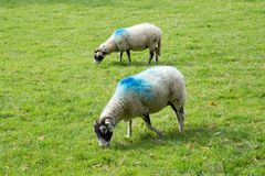 White sheep with blue paint marks. White sheep with blue painted marks in a field stock photos