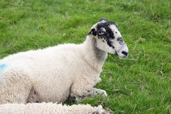 White sheep with blue paint marks. White sheep with blue painted marks in a field stock images