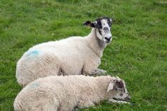 White sheep with blue paint marks. White sheep with blue painted marks in a field royalty free stock image