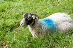 White sheep with blue paint marks. White sheep with blue painted marks in a field royalty free stock photography