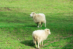 White sheep chill Stock Photography