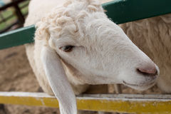 White sheep close-up Head Stock Photos