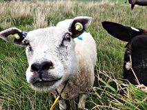 White sheep close up Royalty Free Stock Photo