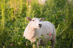 White sheep in clover flowers Royalty Free Stock Photography