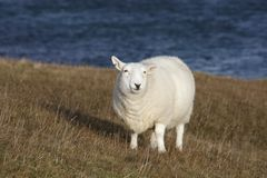 White sheep at the coast Royalty Free Stock Photography