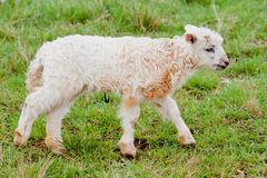 White Sheep Cub Stock Photography