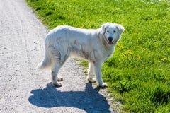 White sheep dog Stock Image