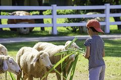 The white sheep eat grass in the hands of Asian boys.  stock photo
