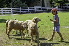 The white sheep eat grass in the hands of Asian boys.  stock photography