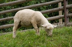 White sheep eating Royalty Free Stock Photo