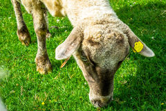 White sheep. Eating the grass Royalty Free Stock Photography