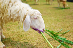 White sheep eating grass in farm Stock Photos