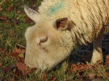 White Sheep Eating Grass On A Field stock photography