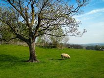 White sheep eating green grass near big tree. On field Stock Photo