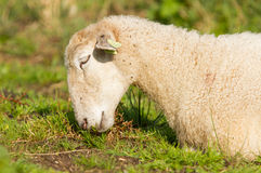 White sheep enjoying the sun Royalty Free Stock Photography