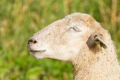 White sheep enjoying the sun Stock Photo