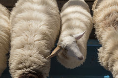 White sheep in farm. Look on top Stock Photos