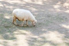White Sheep in farm Stock Image