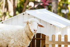 White Sheep in farm Royalty Free Stock Images