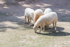 White Sheep in farm Stock Photos