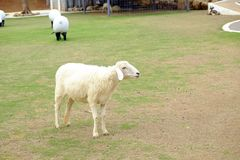 The white sheep in the farm Royalty Free Stock Image
