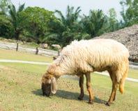White sheep. In sheep farming time Stock Image