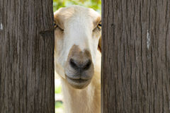 White sheep. In sheep farming time Royalty Free Stock Image