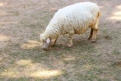 White sheep in fram. Photo White sheep in fram stock images