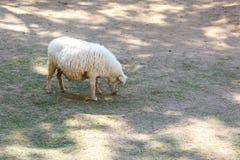 White sheep in fram. Photo White sheep in fram stock photo