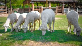 White Sheep In Garden Farm royalty free stock photos