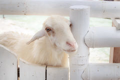 White sheep at gate Royalty Free Stock Photos