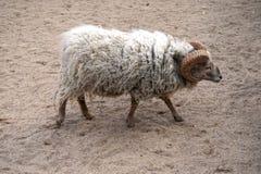 White sheep/goat Royalty Free Stock Photography