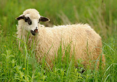 White sheep in grass Royalty Free Stock Photo
