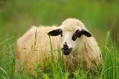 White sheep in grass Royalty Free Stock Image
