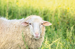 White sheep on grass in summer sunlight Royalty Free Stock Image