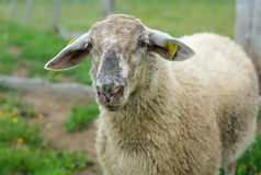 White sheep with gray face outside in enclosure. White sheep standing into enclosure, gray face Stock Image