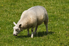White sheep grazing on field Stock Images