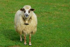 White sheep grazing on green meadow in nature. Stock Photo