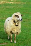 White sheep grazing on green meadow in nature. Royalty Free Stock Photography