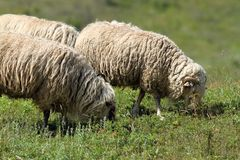 White sheep grazing Royalty Free Stock Image